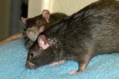 Ratz und Rübe