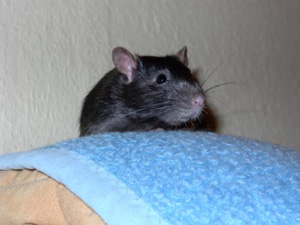 Rattz